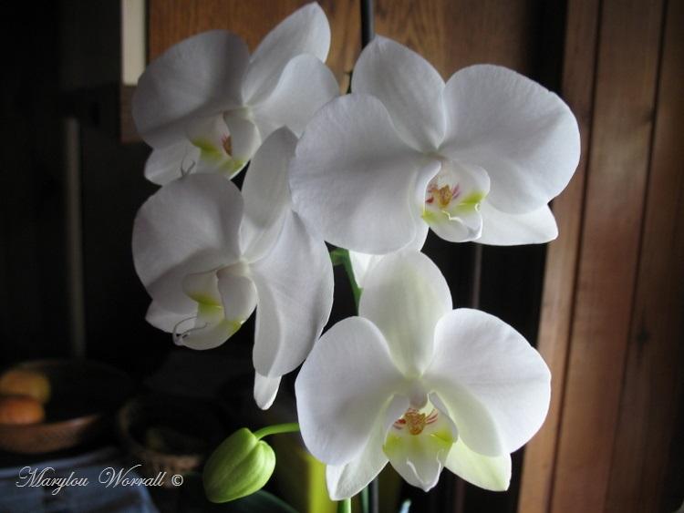 Orchidée blanch