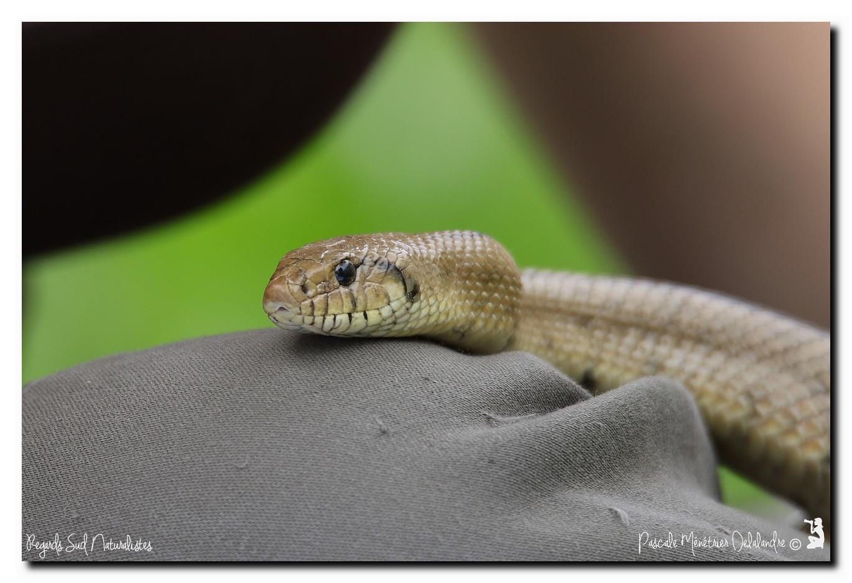 Couleuvre à échelons - Rhinechis scalaris (le mâle)