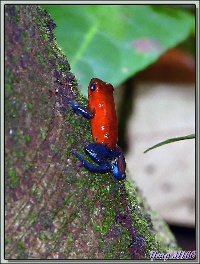 Blog de images-du-pays-des-ours : Images du Pays des Ours (et d'ailleurs ...), Grenouille Dendrobate Poison ou Blue-Jean ou Fraise (Oophaga pumilio) - Arenal - Costa Rica