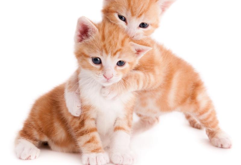 Le chat voit-il la vie en solo ou en duo ?