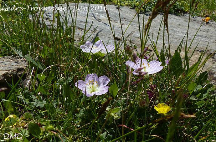 Geranium cinereum  -  géranium cendré