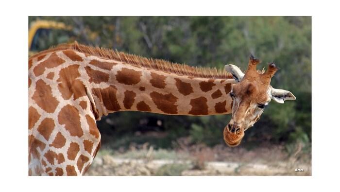 Girafes (réserve Africaine de Sigean)