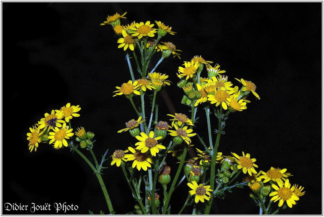 Séneçon Jacobée / Jacobaea vulgaris