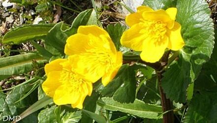 calthapalustrisca