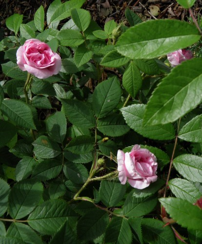 rosa Queen musk buisson