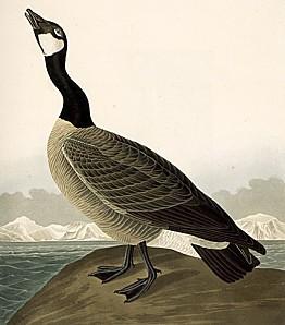 Audubon-CanadaGoose