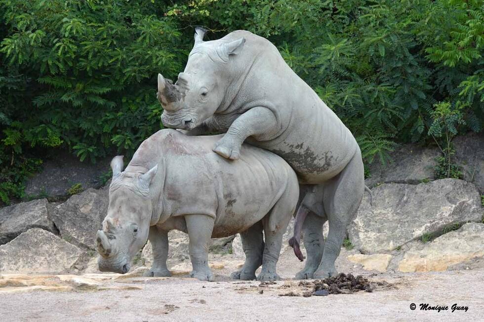 Film X chez les rhinoceros