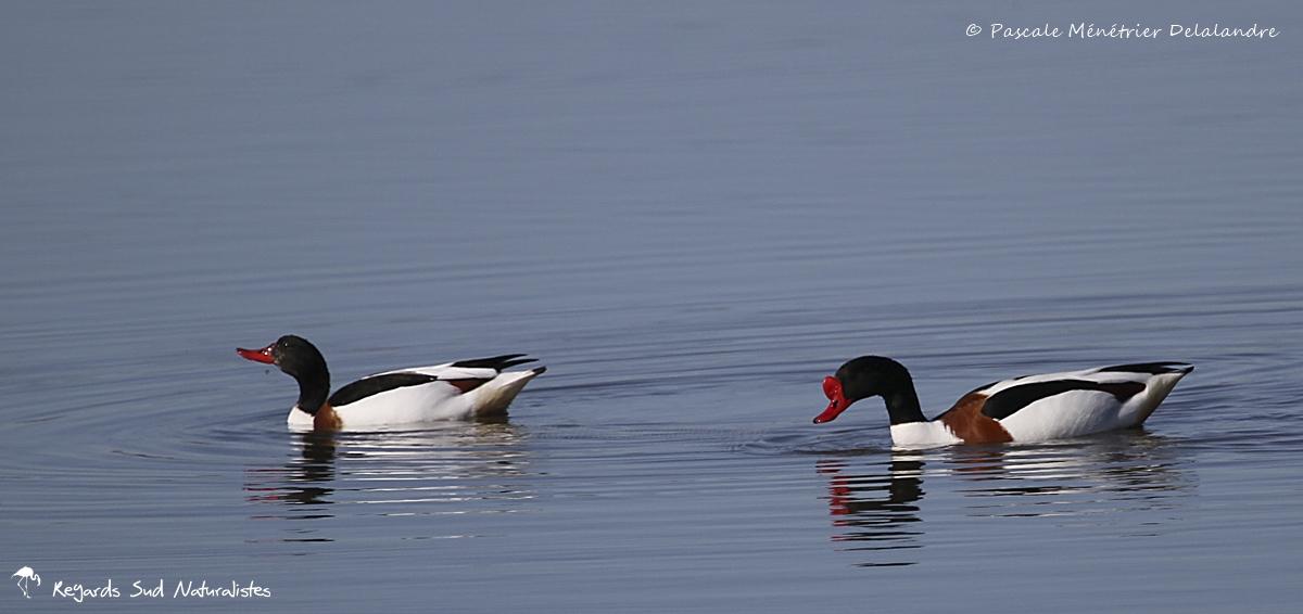 Couple de Tadornes de belon - Femelle à gauche et Mâle à droite