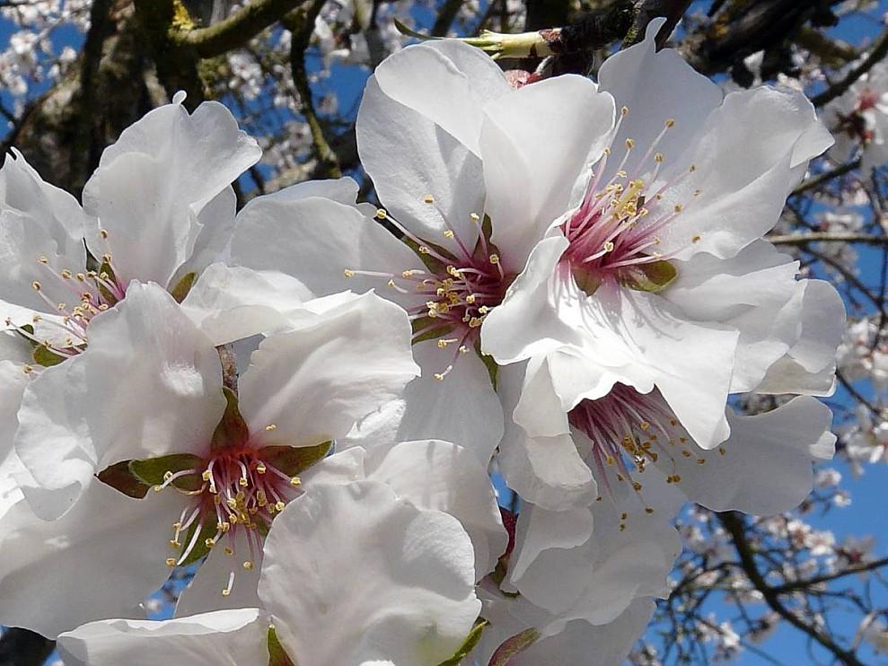 Amandier fleurs 02