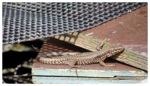 Lézards des murailles