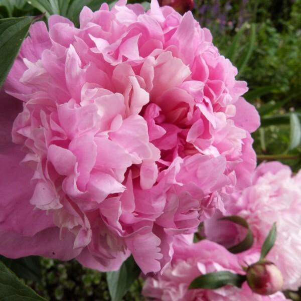 pivoine-rose---juin-2014.jpg