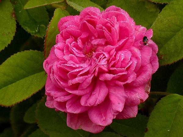 Roses de Rescht