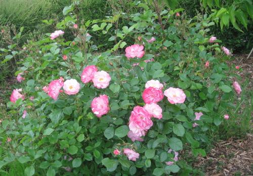 Rose n° 56 demandée par Jean Pierre
