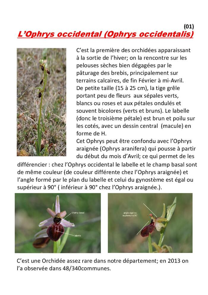 Fichier 01 : l'Ophrys occidental