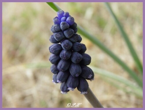 Muscari à grappes