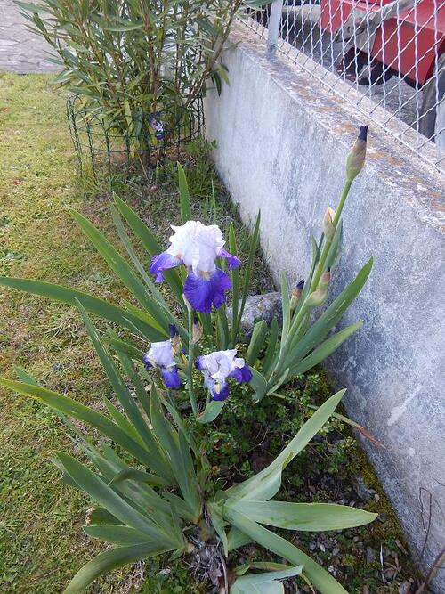 Premiers Iris