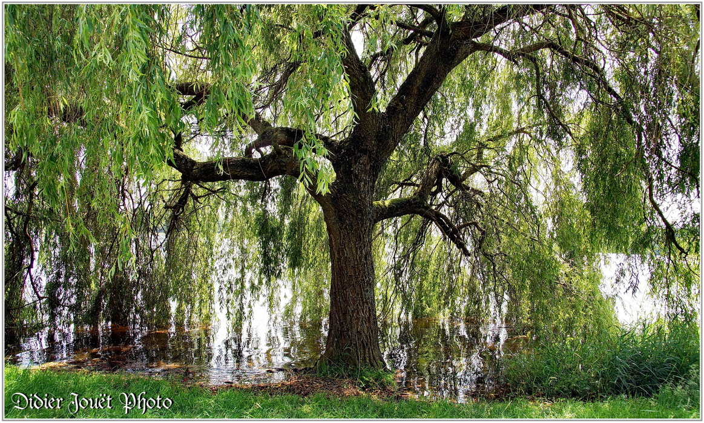 Saule Pleureur / Salix babylonica