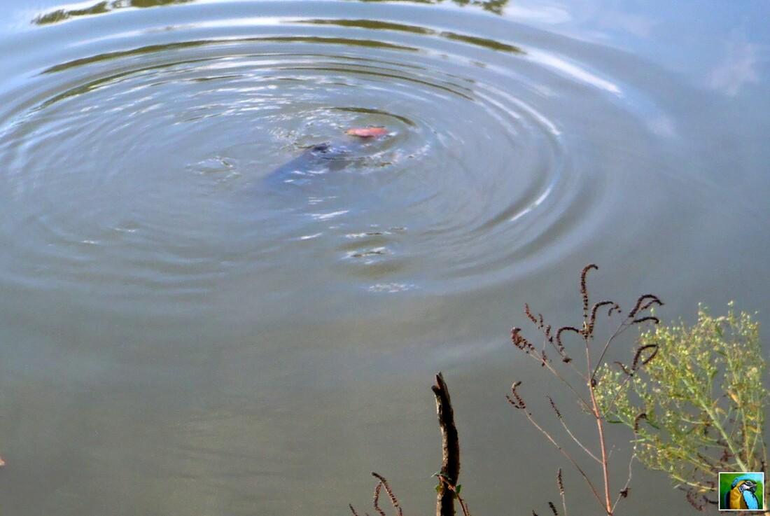 Piranhas dans notre étang...