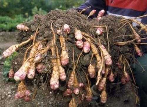 Vertu médicinales des légumes et des fruits : TOPINAMBOUR