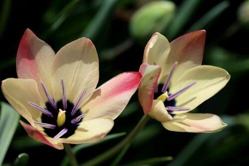 Tulipes en jardinière : Annika et Finola (?)