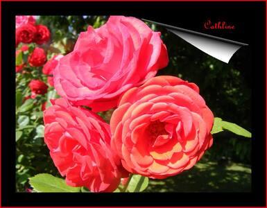 Quelques rosiers dans ma ville