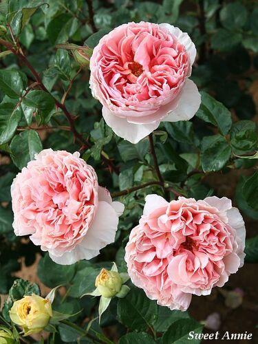Les Roses de Warren : Sweet Annie