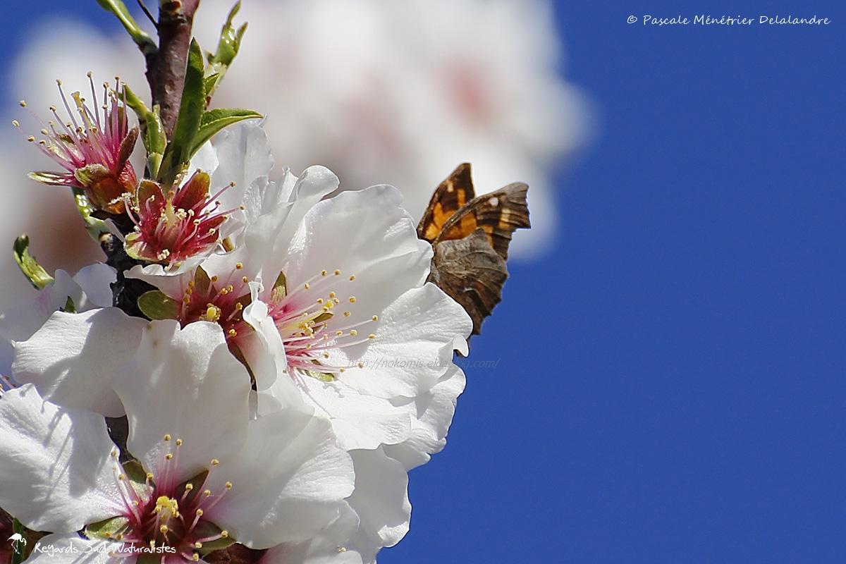 Echancré - Lybythea celtis : L'Echancré est le seul représentant de la sous-famille des Lybytheidae en Europe, seulement composée d'une dizaine d'espèces dans le monde. Nul besoin qu'ils ouvrent leur ailes pour les identifier.