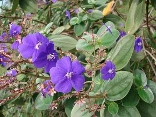 Plantes d'Intérieur : TIBOUCHINA