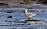 Mouette rieuse - p238