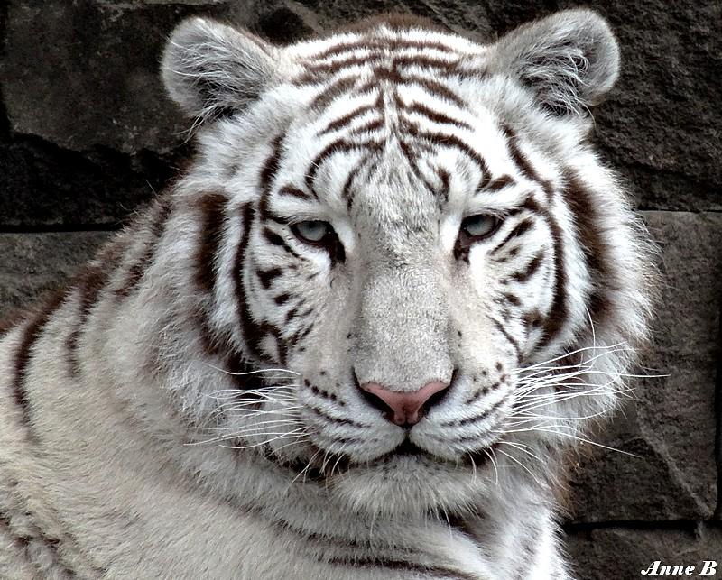Tigre blanc ou tigre blanc royal  Les photos d' Anne B
