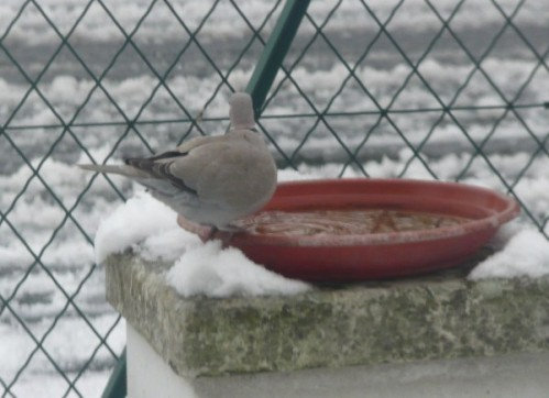 neige-tourterelle_.JPG