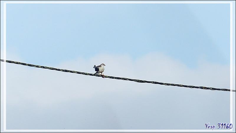 Élanion blanc, Black-winged Kite (Elanus caeruleus) - Lac de Puydarrieux - Hautes-Pyrénées