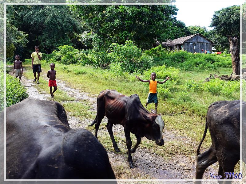 Attention ! Zébus en route pour rejoindre leur pâturage - Nosy Be - Madagascar