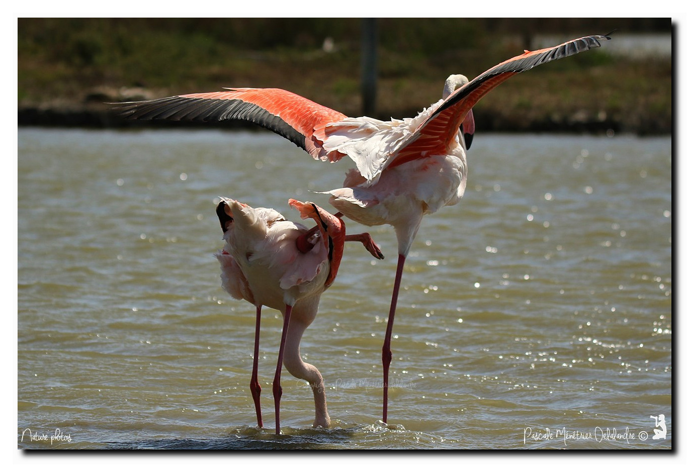 Accouplement de Flamants roses