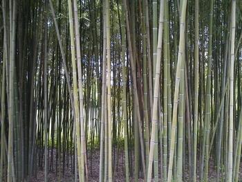 armee bambouesque