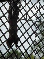 herabhaengendes Eichhörnchen am Gitter