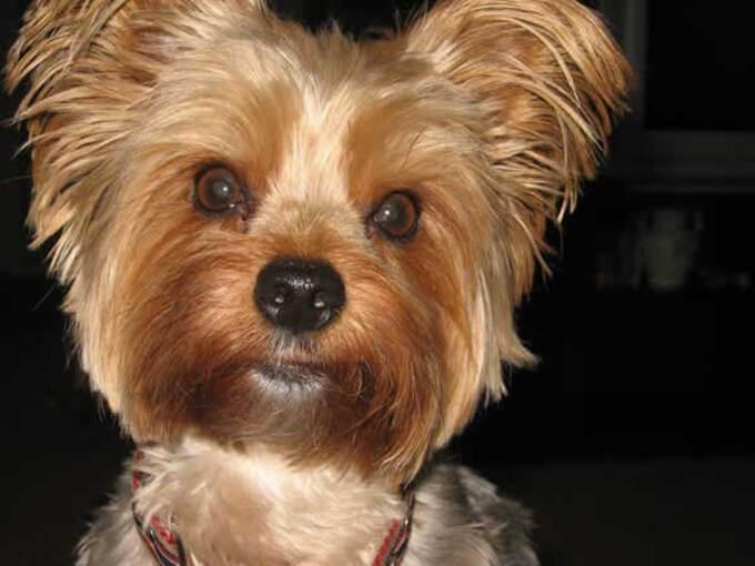 Races de Chiens:  Yorkshire terrier