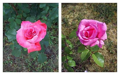 2-roses-16-mai-2011.jpg
