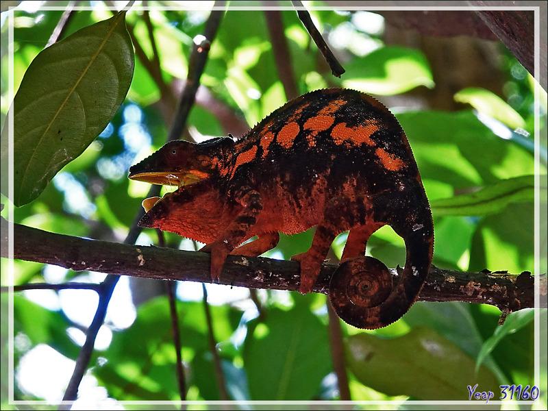Caméléon panthère femelle, Panther chameleon (Furcifer pardalis) - Nosy Komba - Madagascar