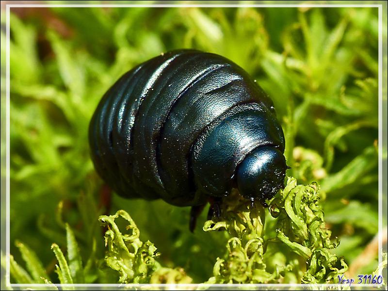 Larve de Crache-sang ou Timarque ou Chrysomèle noire (Timarcha tenebricosa) - Lartigau - Milhas - 31