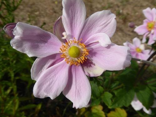 Presque plus de fleurs dans notre jardin!