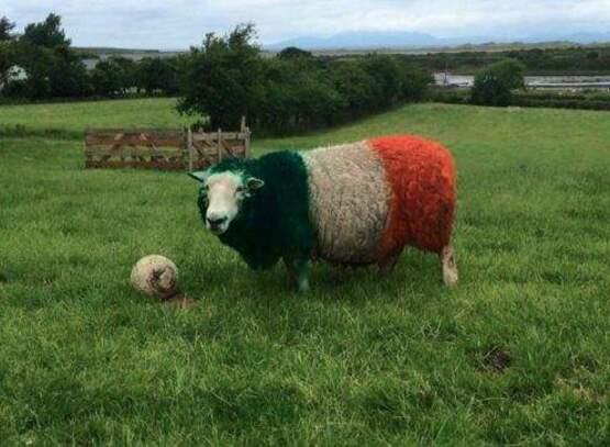"""Résultat de recherche d'images pour """"mouton irlandais"""""""