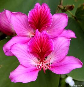 """L'Arbre aux Orchidées - """"Bauhinia"""""""