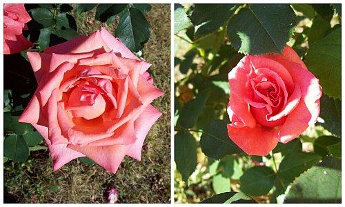 roses-rose.jpg