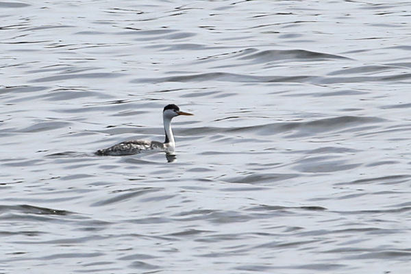 Clark's Grebe - Long Beach