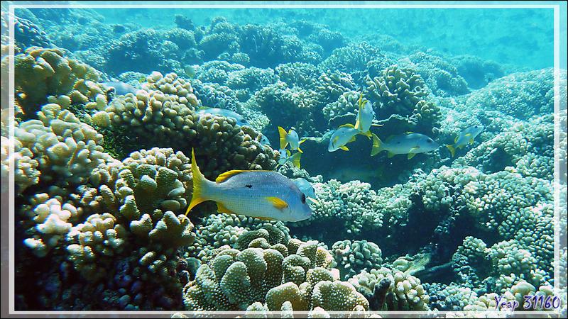 Vivaneau églefin ou à tache noire ou Perche à tache noire ou Jaunet à une tache, One-spot snapper (Lutjanus monostigma) - Passe Tumakohua - Fakarava sud - Tuamotu - Polynésie française