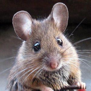 Le patron de Suri la petite souris