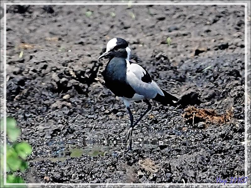Vanneau armé, Blacksmith Lapwing (Vanellus armatus) - Safari nautique - Parc National de Chobe - Botswana