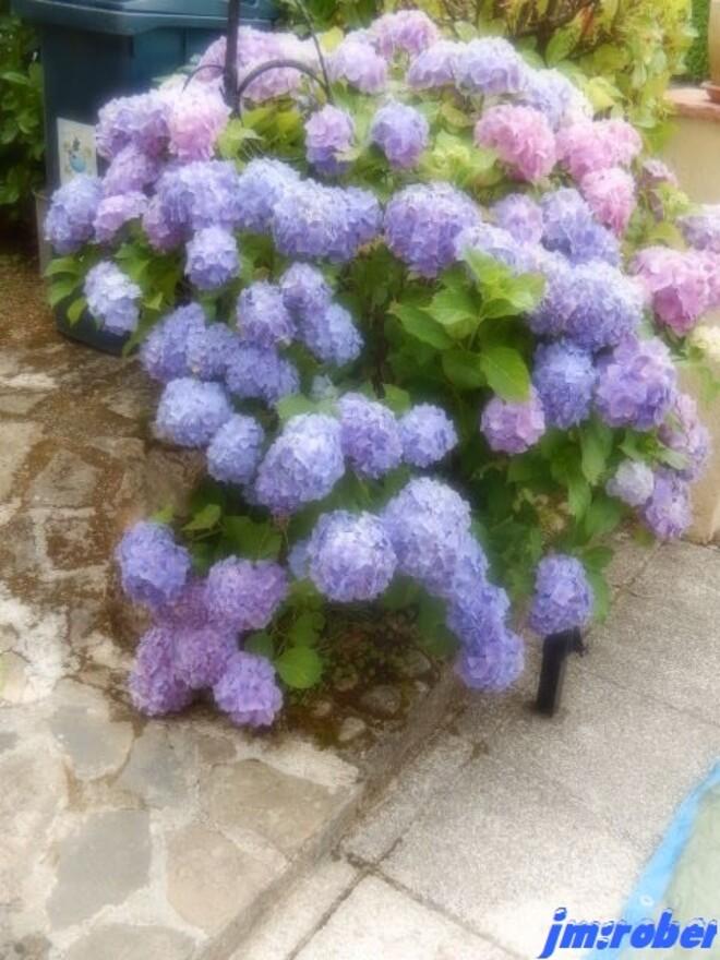 Jardin : Hortensia et Liatris spicata