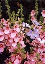 Plante vivace 005